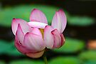 Lotus Ready To Open  2 by NatureGreeting Cards ©ccwri