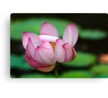 Lotus Ready To Open  2 Canvas Print