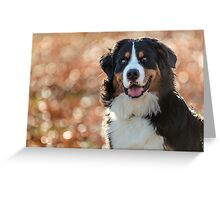 A Bernese Mountain Dog enjoys Iowa Greeting Card