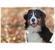 A Bernese Mountain Dog enjoys Iowa Poster