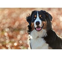 A Bernese Mountain Dog enjoys Iowa Photographic Print