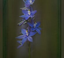 Scented Sun Orchid (Thelymitra macrophylla) #2 by Elaine Teague