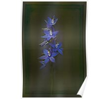 Scented Sun Orchid (Thelymitra macrophylla) #2 Poster