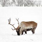 Cariboo aka Reindeer by Poete100