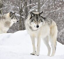 The watch....Timber Wolves by Poete100