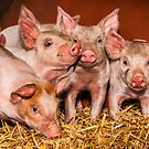Piglets by wildscape