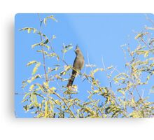 Female Phainopepla Eyeing the Morning from Her Tree Metal Print