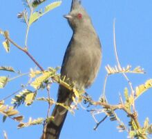 Female Phainopepla Eyeing the Morning from Her Tree Sticker