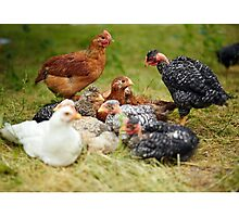 Free range chicks Photographic Print