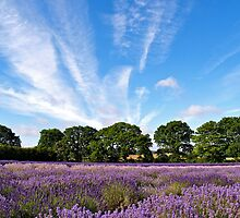 English Lavender in Hampshire by Alex Cassels