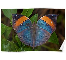 Indian Leafwing Butterfly Poster