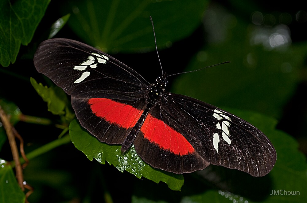 Mexican Longwing Butterfly by JMChown