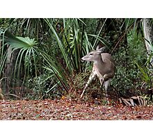 Florida White-Tailed Deer Photographic Print