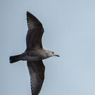 Gull in Flight by Deb Fedeler