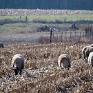 Sheep in Harvested Corn Field by Deb Fedeler