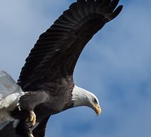 Close Pass of a Bald Eagle by Deb Fedeler