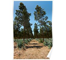 Blue gum plantation Poster