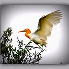 CATTLE EGRET by Barbara  Jean