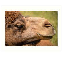 Werribee Zoo - Camel Art Print