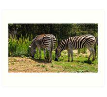 Werribee Zoo - Zebra Art Print