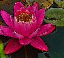 Perky Pink Water Lily by PineSinger