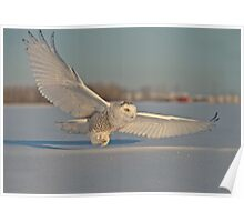 Snowy Owl In Flight Poster