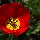 Bright and Red Sunny Tulip by Georgia Mizuleva