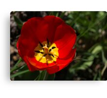 Bright and Red Sunny Tulip Canvas Print