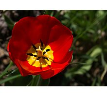 Bright and Red Sunny Tulip Photographic Print