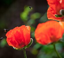 Bees and Poppies by cjrichardsphoto