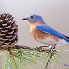 Bluebird on a Pine Branch by Bonnie T.  Barry