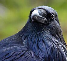 Portrait of a Roaring Mountain Raven by DWMMPhotography