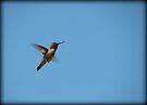 Simply Stunning~ Anna's Hummingbird (Male) by Kimberly Chadwick