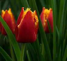 Cheerfully Wet Red and Yellow Tulips by Georgia Mizuleva