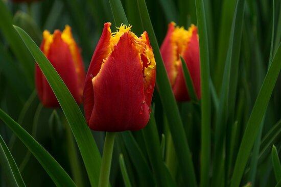 Cheerfully Wet Red and Yellow Tulips by Georgia Mizuleva
