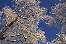 Frosted Trees by Jo Nijenhuis