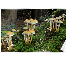 Sulphur tufts     [Hypholoma fasciculare] Poster