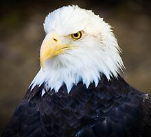Bald Eagle by BGSPhoto