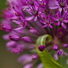 Allium Curl by Anne Gilbert