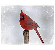 Cardinal Perching Poster