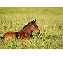 horse brown foal lying in pasture Photographic Print
