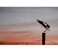 Coming in to land - pelican at Stradbroke Island Photographic Print