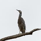 White-faced Heron (Egretta Novaehollandiae) by Matthew Hockley