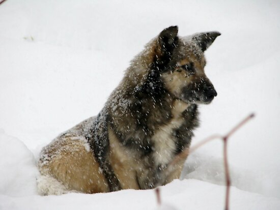 Snow Dog by Dennis Melling