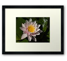 Crisp, Gently Pink Waterlily in the Hot Mediterranean Sun Framed Print