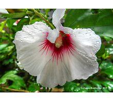 White Rose Of Sharon Photographic Print