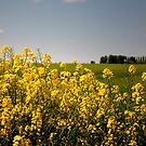 Fields of yellow by triciamary