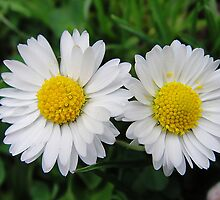 Two white daisies by fotosbykarin