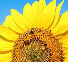 bright yellow sunflower  by goceris
