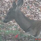 Deer by mmoeus